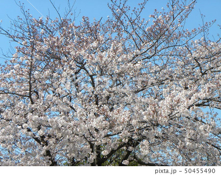 サクラ広場のソメイヨシノが綺麗です 50455490