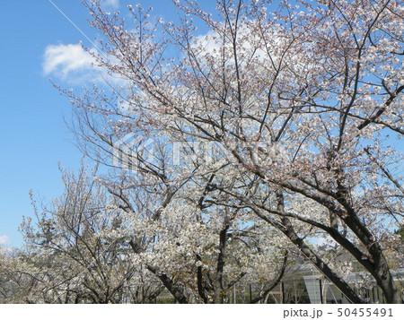 サクラ広場のソメイヨシノが綺麗です 50455491