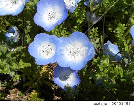 こどもの笑顔のようなネモフィラの青い花 50455492