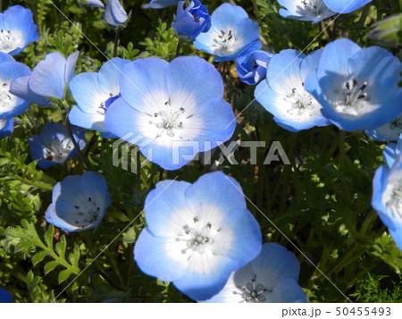 こどもの笑顔のようなネモフィラの青い花 50455493
