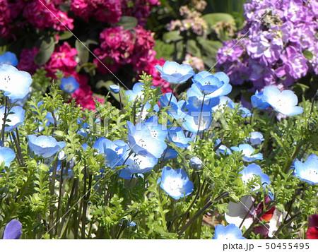 こどもの笑顔のようなネモフィラの青い花 50455495