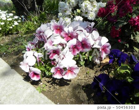 青と紫色のビヲラの花 50456303