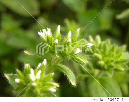 春の野草オランダミミナグサの白い花 50457144