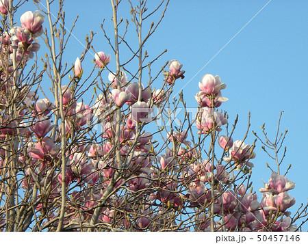 春に咲く大きな紫色の花モクレンの花 50457146