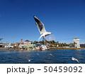 浜名湖のユリカモメ 50459092