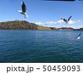浜名湖のユリカモメ 50459093