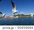 浜名湖のユリカモメ 50459094