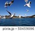 浜名湖のユリカモメ 50459096