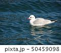 浜名湖のユリカモメ 50459098