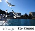 浜名湖のユリカモメ 50459099