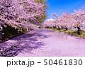 弘前城桜祭り 花筏 50461830