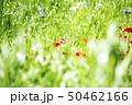 ポピー 50462166