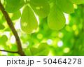 新緑 50464278