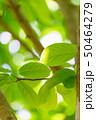 新緑 50464279