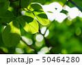 新緑 50464280
