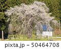 おしら様のしだれ桜 桜 しだれ桜の写真 50464708