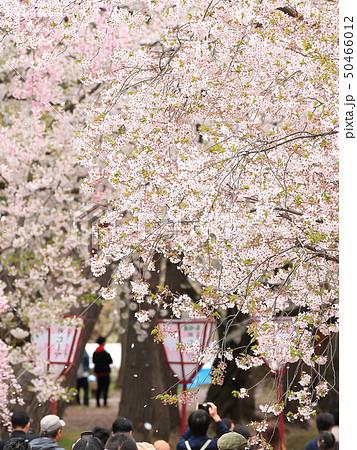 弘前さくらまつり 人ごみ 風景 50466012