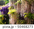 緑色 木 日本の写真 50468273