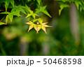 楓の若葉 50468598