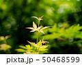 楓の若葉 50468599