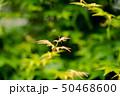 楓の若葉 50468600