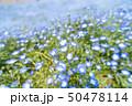満開のきれいなネオフィラ 50478114