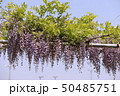 花 植物 藤の写真 50485751