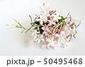 美しいジャスミンの花、室内、白背景 50495468