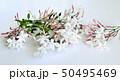 美しいジャスミンの花、室内、白背景 50495469