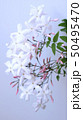美しいジャスミンの花、室内、白背景 50495470