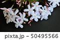 美しいジャスミンの花、黒背景、室内 50495566