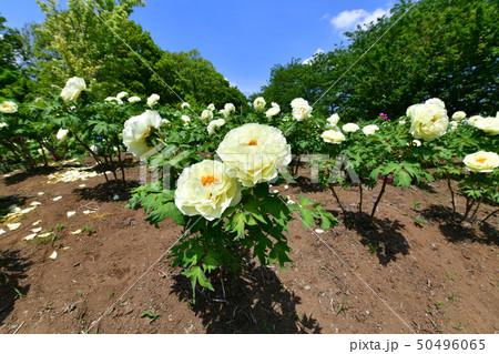 牡丹の花(黄冠) 50496065