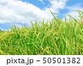 稲 稲穂 夏の写真 50501382