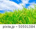 稲 稲穂 夏の写真 50501384