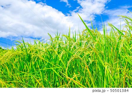 夏の稲 (8月) 50501384