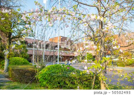 都会のオアシス 春の大濠公園の桜【福岡県】 50502493