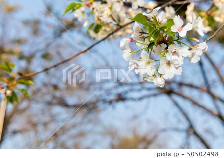 都会のオアシス 春の大濠公園の桜【福岡県】 50502498