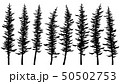 Silhouettes of tall spruce trees with rare. 50502753