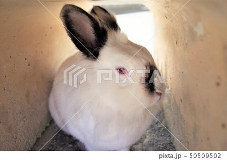 可愛い白いウサギ、群馬サファリパーク 50509502