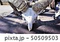 鹿の角、頭蓋骨、群馬サファリパーク 50509503