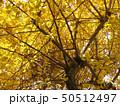 イチョウの木 50512497