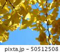 イチョウの木 50512508