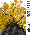 イチョウの木 50512511