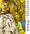 イチョウの木 50512514