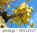 イチョウの木 50512517