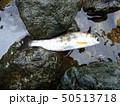 川 魚 河川の写真 50513718