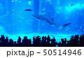 츄라우미수족관의 거대한 수조 안에서 헤엄치는 고래상어와 물고기 50514946