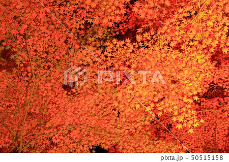 山中湖・旭日丘湖畔緑地公園 夕焼けの渚・紅葉まつりライトアップ 50515158