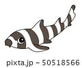 イヌザメ brownbanded bambooshark 50518566