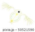 ミジンコ イラスト Daphnia  50521590